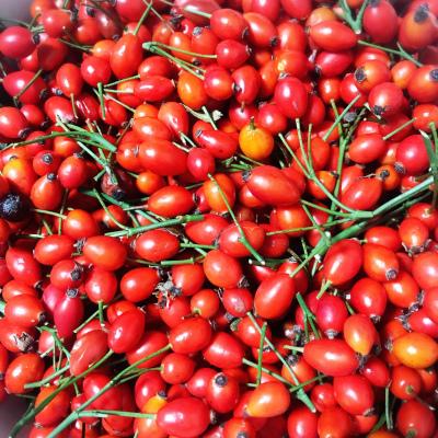 ローズヒップ収穫